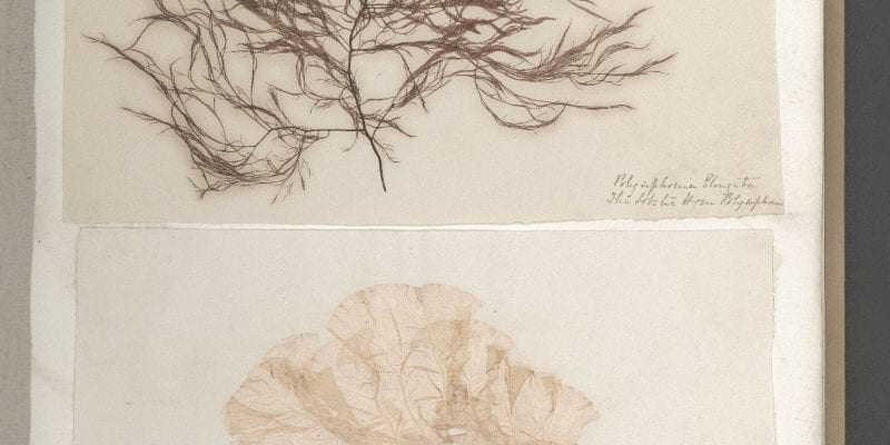Page 17 of Seaweeds, Great Britain, circa 1850