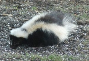A close up of a skunk under a bird feeder