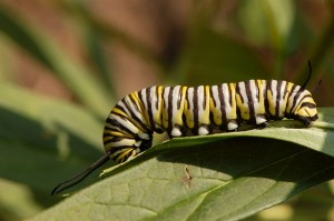 Monarch caterpillar (photo by D. Ramsey (Wikimedia Commons))