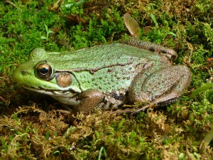 Northern green frog (photo by Contrbaroness. Wikimedia Commons)