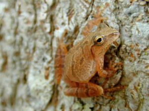 H. crucifer Photo by USGS (Public Domain)