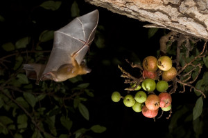 Short nosed bat eating figs (Photo by N,Mhatre, Flickr