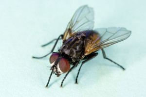 Common House Fly, Photo by USDA Wikimedia Commons