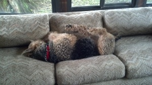 A napping dog lying on the couch. Photo by Ava Witter