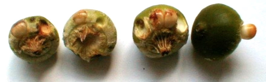 4 acorns without caps, in a row. Each has several pip galls, which are almost like seeds attached to the acorn, or depressions made by pip galls that fell off