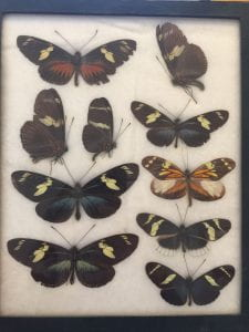 A single Riker mount, filled with Heliconius butterflies