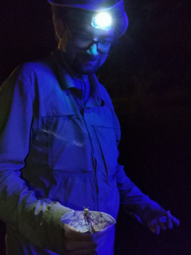 """The author observes an imperial moth (Eacles imperialis) at a light sheet. Louis has called them """"cheese moths"""" due to their yellow-orange scales, which when rubbed off appear similar to processed cheese powder. Photo credit: Antoine Guiguet"""