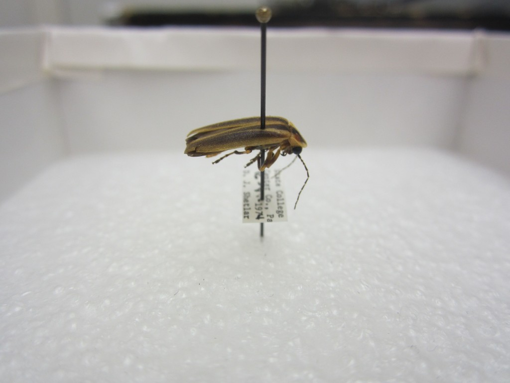 Photuris aureolucens specimen that was collected in State College. Photo by Karah Roof (CC BY 2.0)