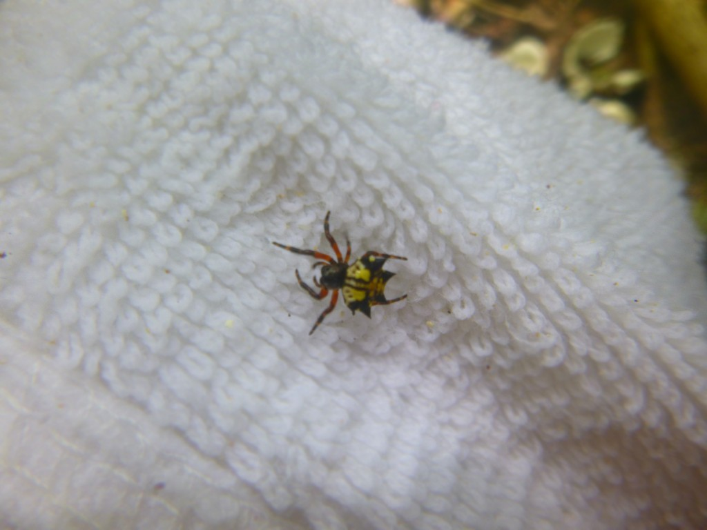 Micrathena sp. in Saipan. Photo by Karah Roof (CC BY 2.0)