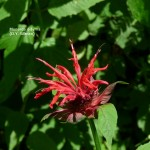 Close up of bee balm flower