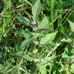 Northern bugleweed