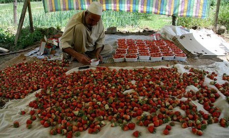 africa-business-strawberries