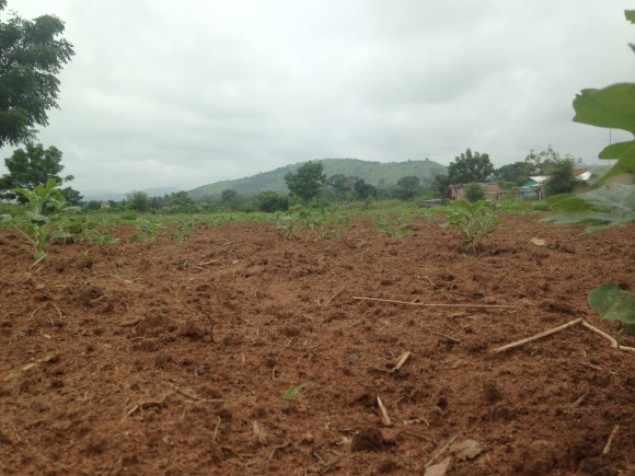 Field where watermelons were planted.