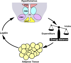 The brain signals adipose tissue to secrete leptin to suppress appetite and increase energy expenditure.