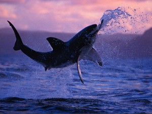 Great_White_Shark_Breaching_Wallpaper_0739m