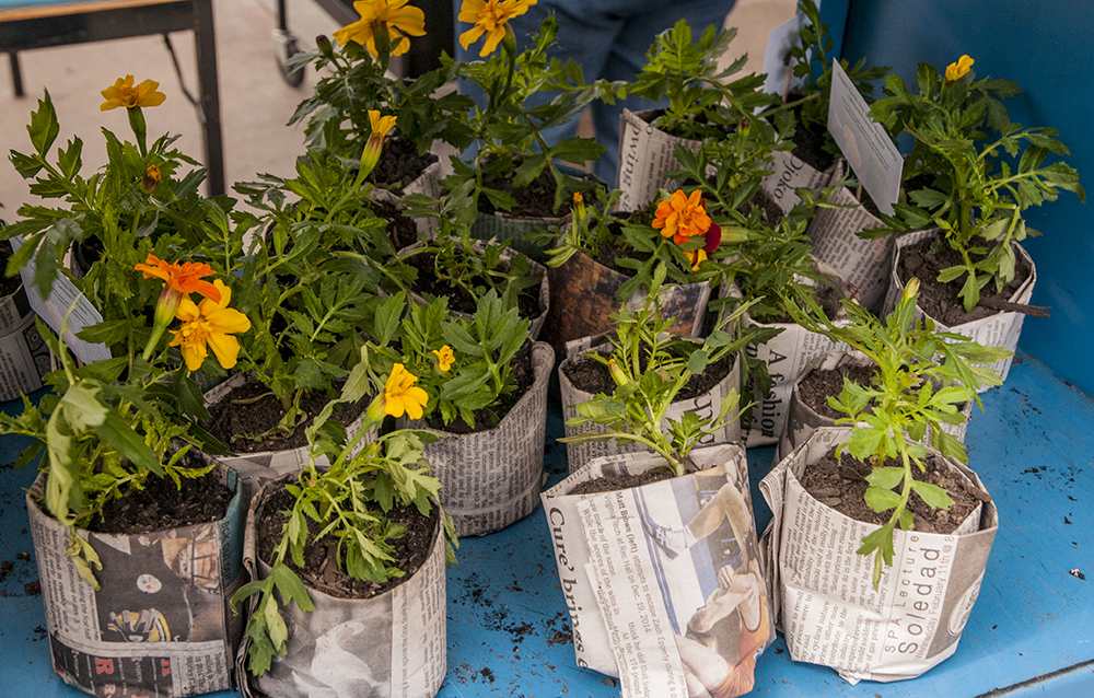 marigold plants in newspaper pots for Earth Day giveaway