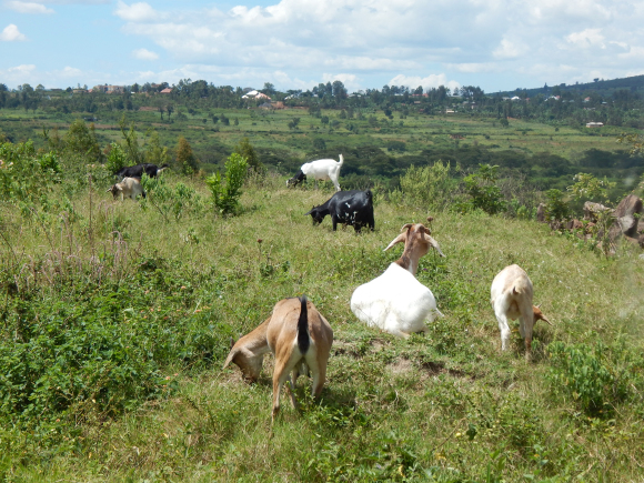field of goats