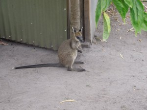 Wallaby sitting