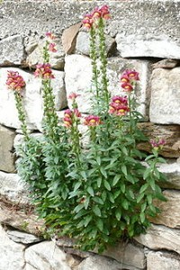220px-Antirrhinum_majus_from_Thasos
