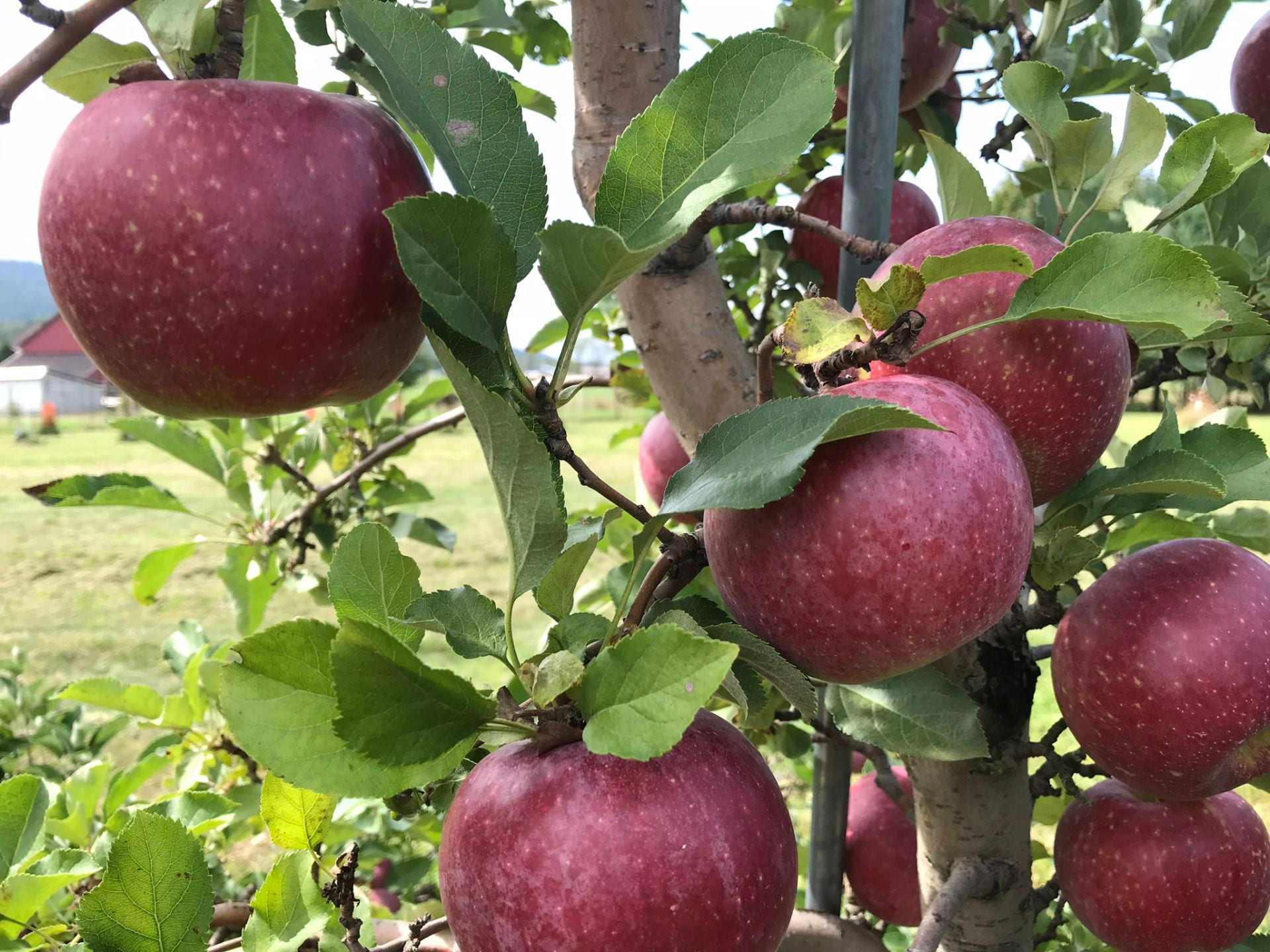 apples on tree Photo (CC BY 2.0) by Rita Graef
