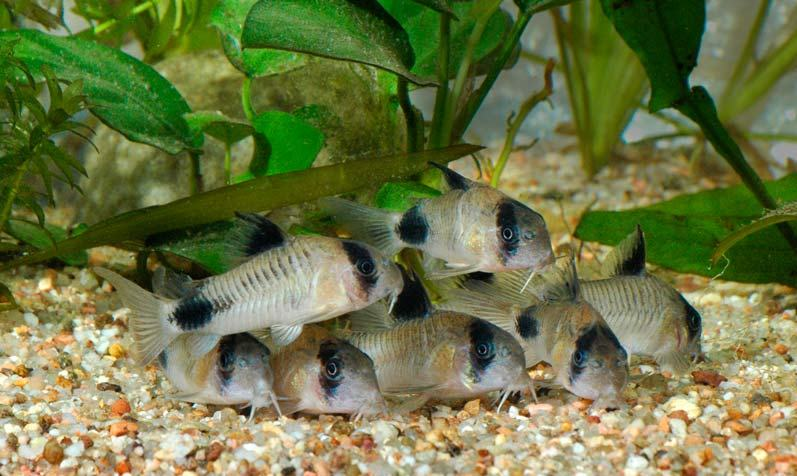 Cory Cats fish : Panda Cory: This beautiful two colored cory catfish is the second ...