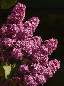 Lush, cone shaped panicles of common lilac. http://pixabay.com/en/lilac-common-lilac-ornamental-shrub-7156/