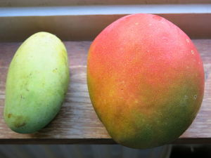 Wild (L) and Cultivated(R) Mangoes