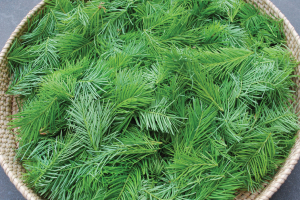 Douglas fir tip cuttings
