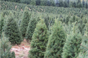 Douglas firs being grown on a Christmas Tree Farm