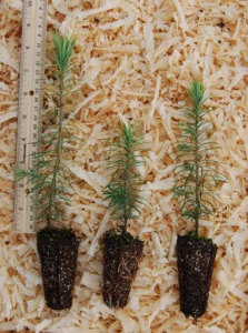 Doulgas fir seedlings