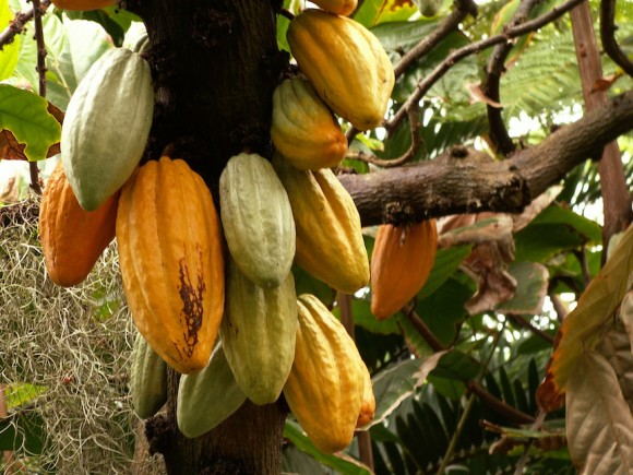 Cacao pods on a tree at Phipps Conservatory in Pittsburgh.