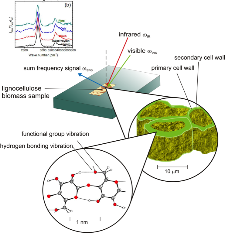 Schematic connecting the principles of sum-frequency-generation (SFG) and its application to intact lignocellulose biomass samples: birch, pine and oak.