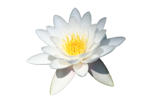 Water_lily
