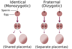 2000px-Identical-fraternal-sperm-egg