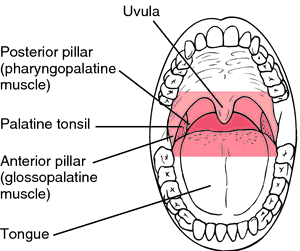 what is the punching bag in the back of our throat and is ... uvula diagram  #11