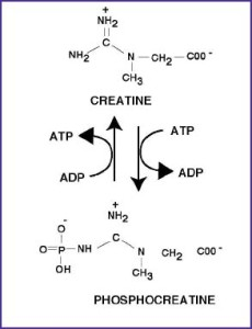 creatine_reviewPCT01