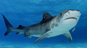 tiger-shark-picture-swimming-pictures_261284
