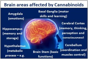 Cannabis has an effect on the human brain that conjoins with the way the mind learns naturally, thereby affecting declarative memory.