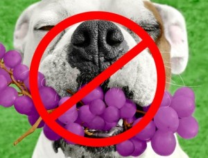 What To Do If Dog Eats Grapes