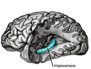 The hippocampus, or the part of the brain that is associated with memory.