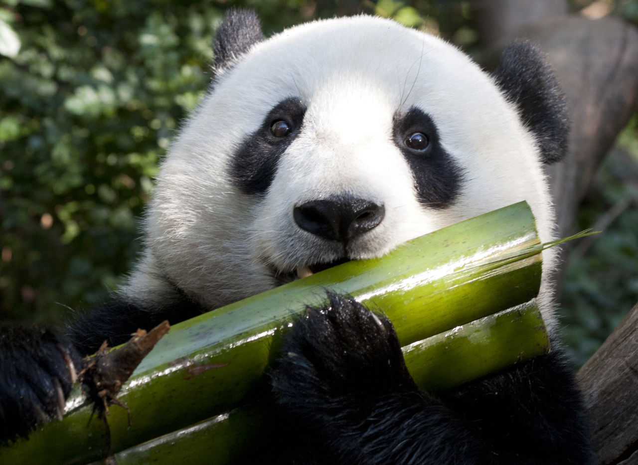 Panda and bamboo siowfa science in our world
