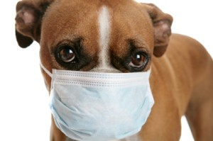 how-long-is-kennel-cough-contagious-300x199