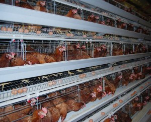 chicken_layer_cages_634594118892495268_7