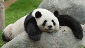 panda_lazy_on-rock_0
