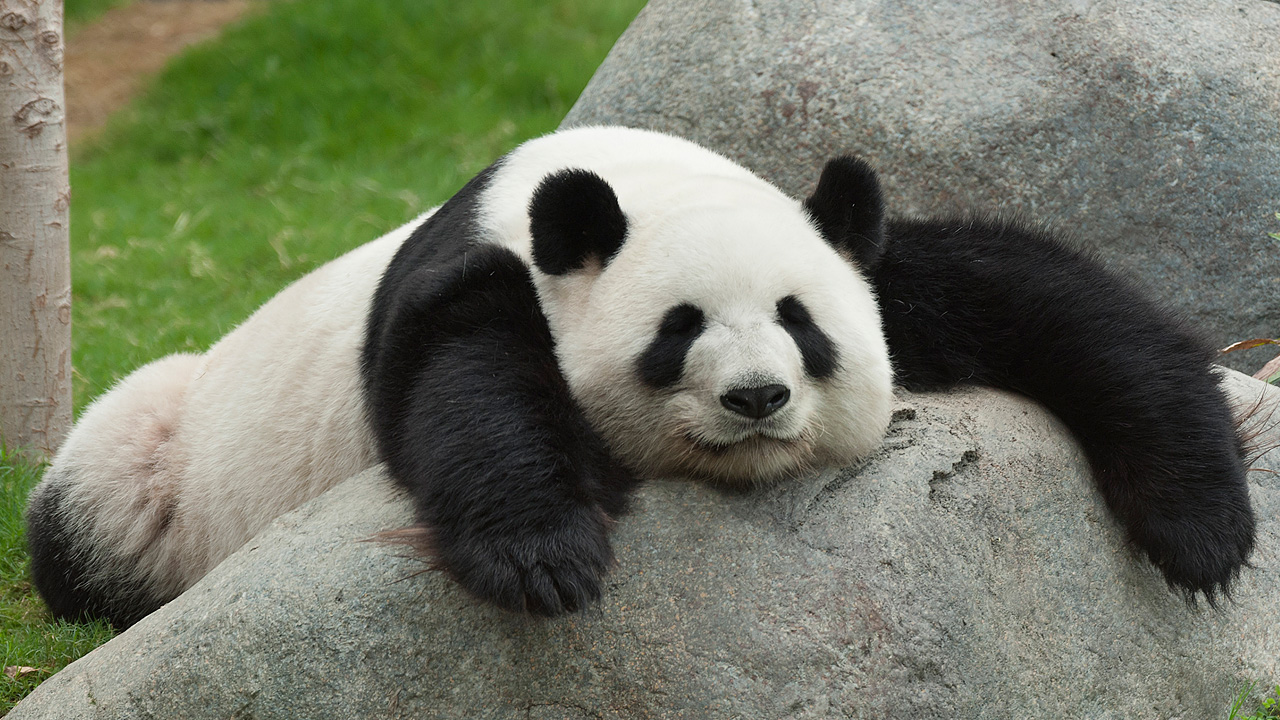 Panda and Bamboo | SiOWfa16: Science in Our World ...