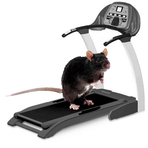 rat-on-treadmill