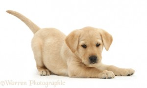 Cute playful Yellow Labrador Retriever puppy, 8 weeks old, in play-bow