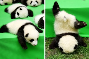 a-baby-panda-fell-off-a-stage-but-dont-worry-hes-2-25672-1475256931-0_dblbig
