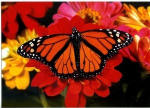 notecard-monarch-butterfly-300x215