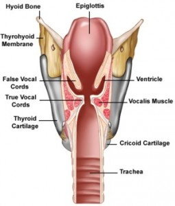 larynx-diagram